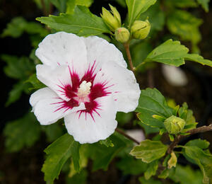 Ibišek syrský 'Red Heart' - Hibiscus syriacus 'Red Heart'