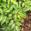 Mahonie cesmínolistá 'Atropurpurea' - Mahonia aquifolium 'Atropurpurea'