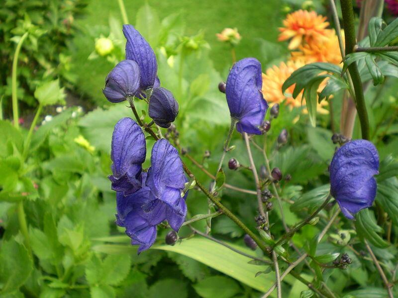 Oměj Henryův 'Spark's Variety' - Aconitum henryi 'Spark's Variety'