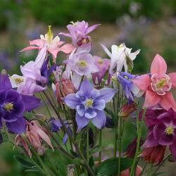 Orlíček obecný - Aquilegia vulgaris mix