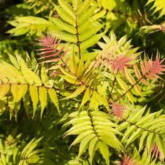 Tavolníkovec jeřábolistý 'Sem' - Sorbaria sorbifolia 'Sem'