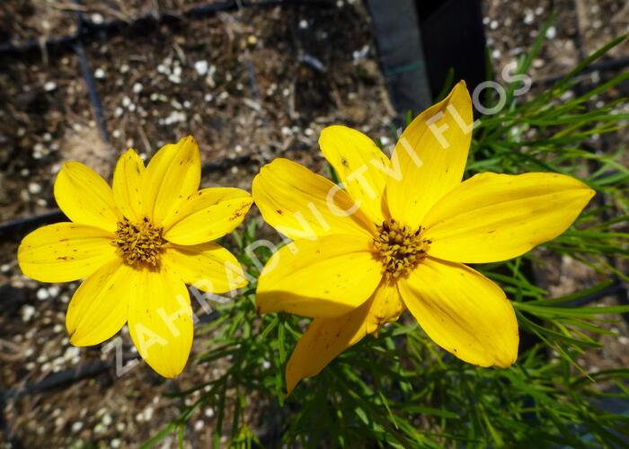 Krásnoočko přeslenité 'Grandiflora' - Coreopsis verticillata 'Grandiflora'