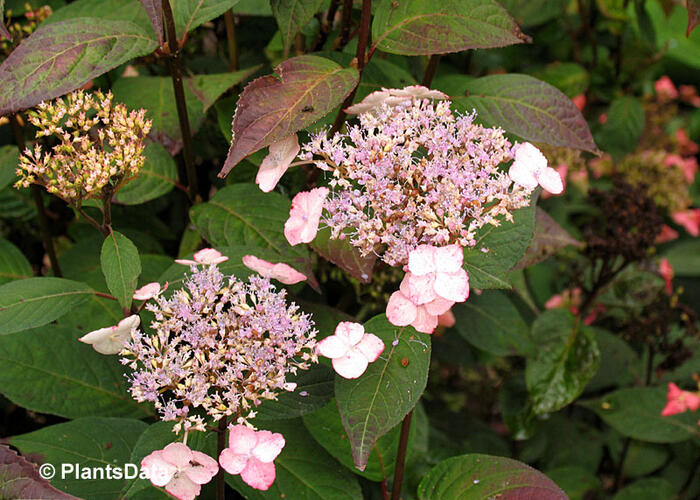 Hortenzie pilovitá 'Acuminata' - Hydrangea serrata 'Acuminata'