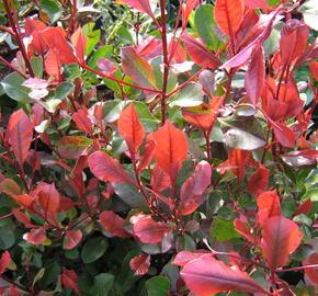 Blýskavka Fraserova 'Little Red Robin' - Photinia fraseri 'Little Red Robin'