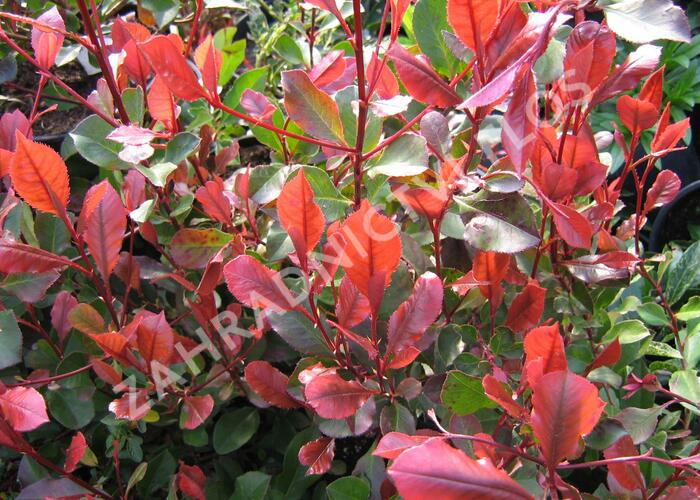 Blýskavka Fraserova 'Little Red Robin' - Photinia fraseri 'Little Red Robin'