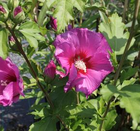 Ibišek syrský 'Russian Violet' - Hibiscus syriacus 'Russian Violet'