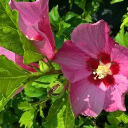 Ibišek syrský 'Pink Giant' - Hibiscus syriacus 'Pink Giant'
