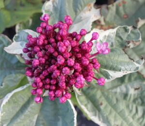 Blahokeř Bungeův 'Pink Diamond' - Clerodendrum bungei 'Pink Diamond'