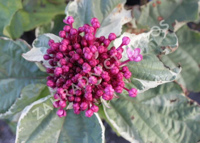 Blahokeř Bungeův 'Pink Diamond' - Clerodendrum bungei 'Pink Diamond'