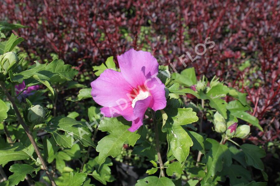 Ibišek syrský 'Woodbridge' - Hibiscus syriacus 'Woodbridge'