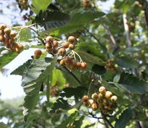 Jeřáb obecný 'Fastigiata' - Sorbus aucuparia 'Fastigiata'