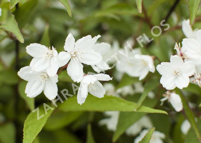 Trojpuk růžový 'Campanulata' - Deutzia rosea 'Campanulata'