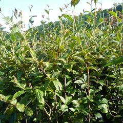 Skalník puchýřnatý - Cotoneaster bullatus
