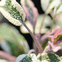 Šalvěj lékařská 'Tricolor' - Salvia officinalis 'Tricolor'