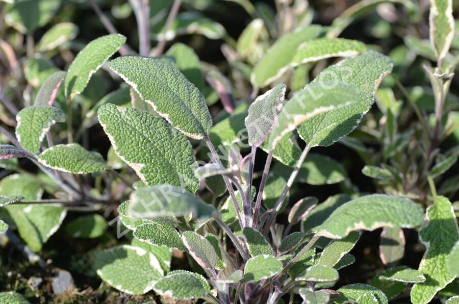 Šalvěj lékařská 'Silver Sabre' - Salvia officinalis 'Silver Sabre'