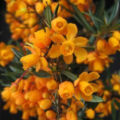 Dřišťál čárkolistý 'Orange King' - Berberis linearifolia 'Orange King'