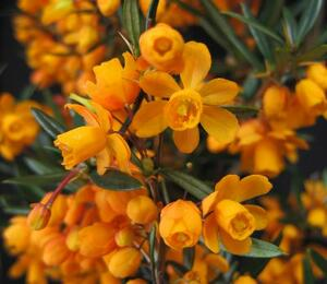 Dřišťál čárkolistý 'Orange King' - Berberis linearifolia 'Orange King'