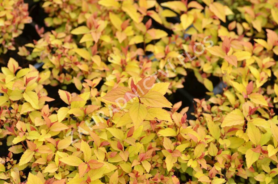 Tavolník japonský 'Firelight' - Spiraea japonica 'Firelight'