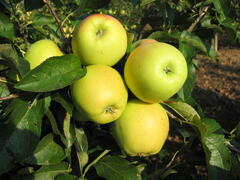 Jabloň zimní 'Golden Delicious' - Malus domestica 'Golden Delicious'
