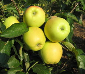 Jabloň zimní 'Golden Delicious' - Malus domestica 'Golden Delicious'