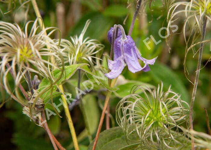 Plamének celolistý 'Blue Ribbons' - Clematis integrifolia 'Blue Ribbons'