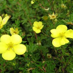 Mochna křovitá 'Living Daylight' - Potentilla fruticosa 'Living Daylight'