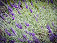 Levandule úzkolistá 'Hidcote Blue Strain' - Lavandula angustifolia 'Hidcote Blue Strain'