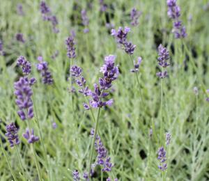 Levandule úzkolistá 'Dark Hidcote Blue' - Lavandula angustifolia 'Dark Hidcote Blue'