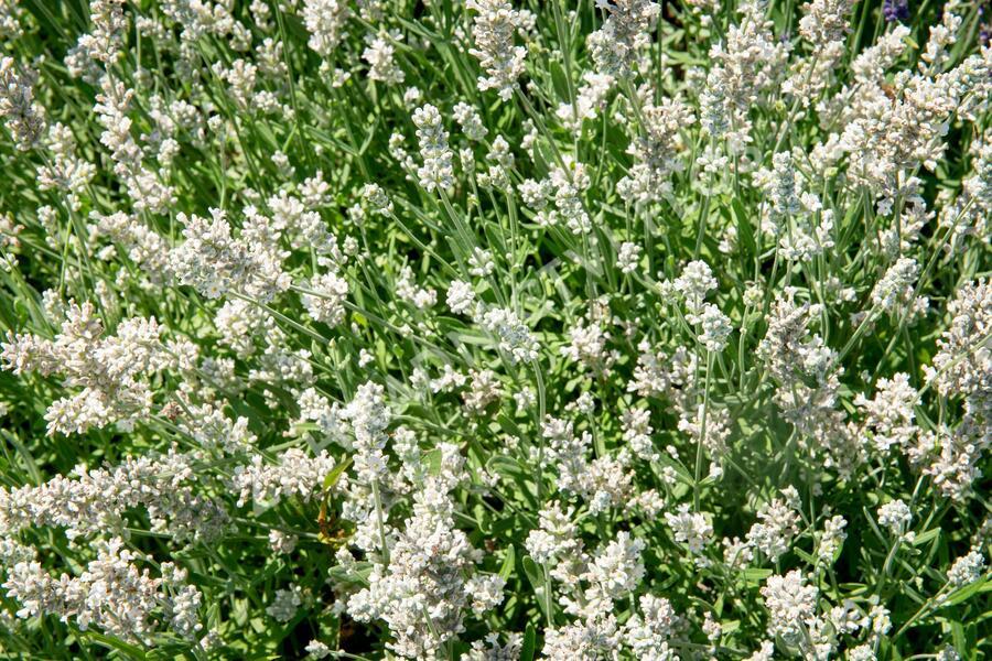 Levandule úzkolistá 'Sentivia Silver' - Lavandula angustifolia 'Sentivia Silver'