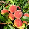 Broskvoň - raná 'Michaela' - Prunus persica 'Michaela'