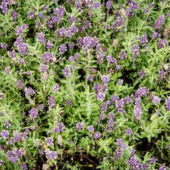 Levandule úzkolistá 'Blue Scent' - Lavandula angustifolia 'Blue Scent'
