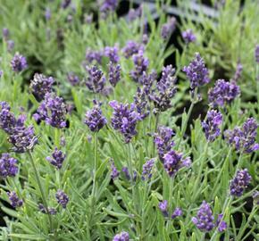 Levandule úzkolistá 'Aromatico Blue Compact' - Lavandula angustifolia 'Aromatico Blue Compact'