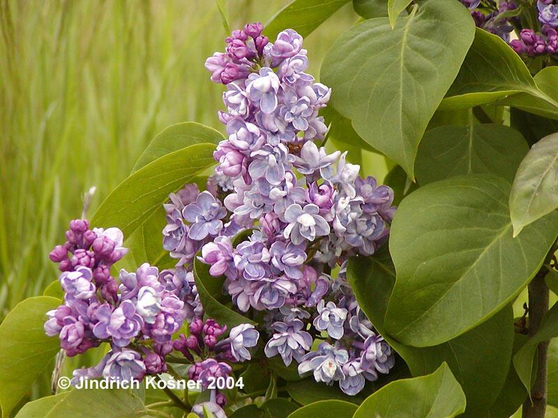Šeřík obecný 'Duc de Massa' - Syringa vulgaris 'Duc de Massa'