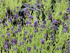 Levandule úzkolistá 'Aromatico Forte Blue' - Lavandula angustifolia 'Aromatico Forte Blue'