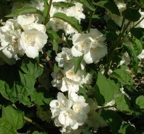 Pustoryl panenský 'Albatre' - Philadelphus virginalis 'Albatre'