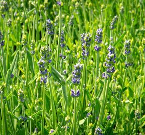 Levandule úzkolistá 'Aromatico Early Blue' - Lavandula angustifolia 'Aromatico Early Blue'