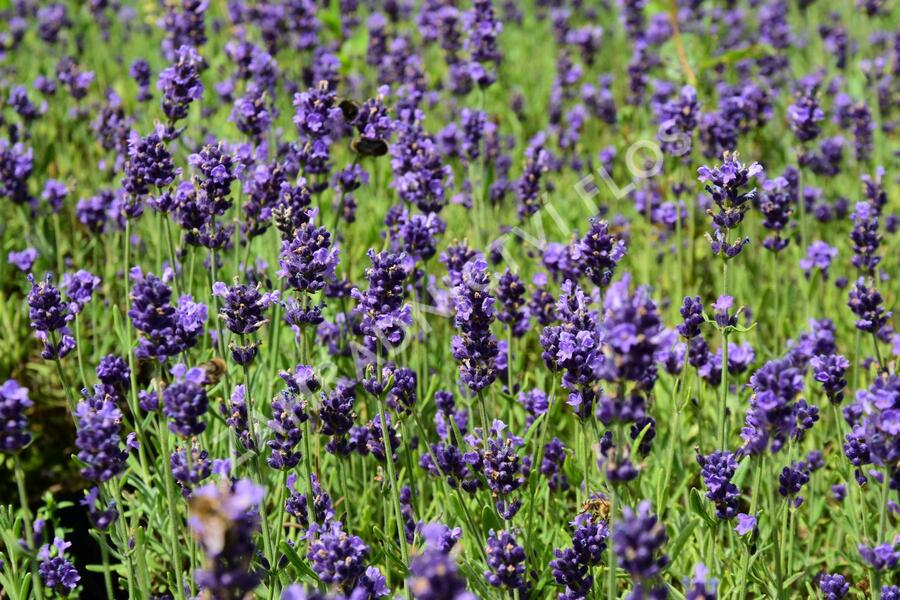 Levandule úzkolistá 'Aromatico Early Blue' - Lavandula angustifolia 'Aromatico Early Blue'