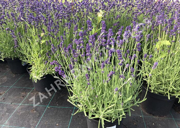 Levandule úzkolistá 'Aromatico Blue' - Lavandula angustifolia 'Aromatico Blue'