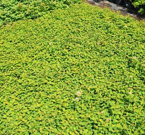 Tavolník poléhavý - Spiraea decumbens