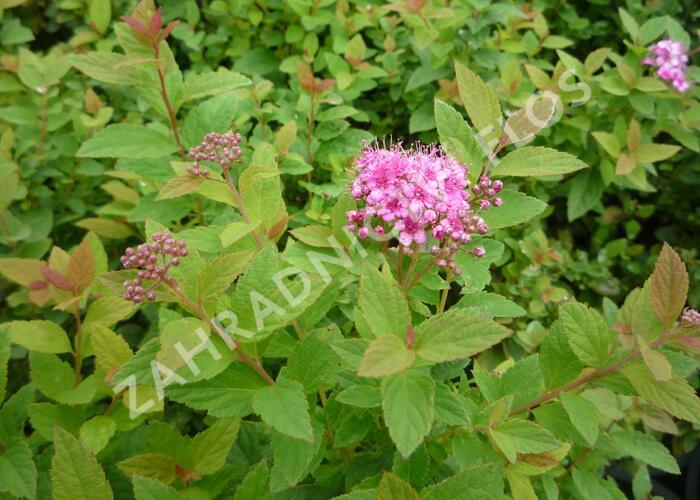 Tavolník japonský 'Manon' - Spiraea japonica 'Manon'