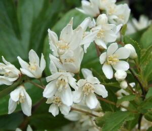 Trojpuk něžný 'Nikko' - Deutzia gracilis 'Nikko'
