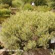 Vrba purpurová 'Gracilis' - Salix purpurea 'Gracilis'
