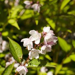 Trojpuk mamotokvětý 'Kalmiiflora' - Deutzia purpurascens 'Kalmiiflora'