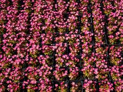 Lomikámen arendsův 'Touran Pink' - Saxifraga x arendsii 'Touran Pink'