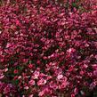 Lomikámen arendsův 'Touran Neon Rose' - Saxifraga x arendsii 'Touran Neon Rose'