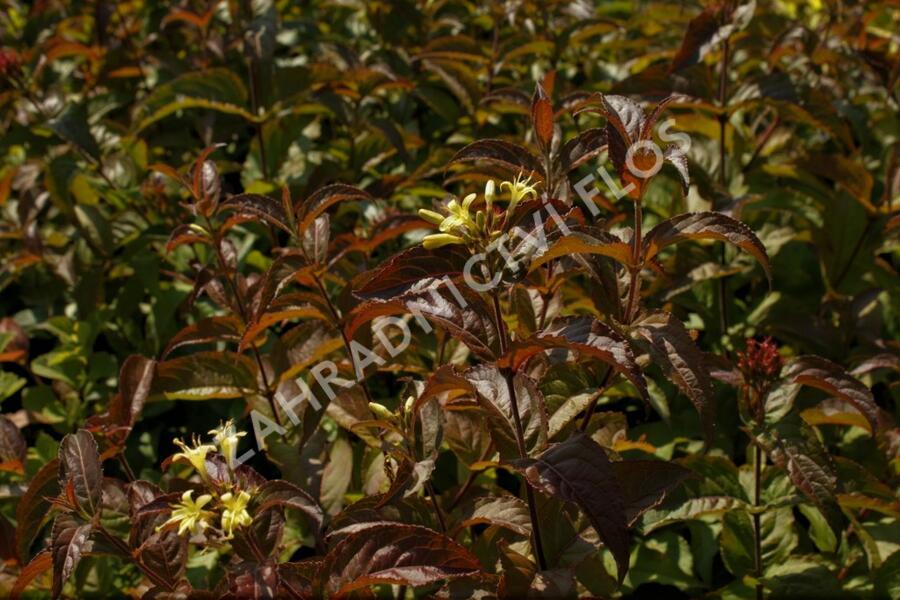 Zanice potoční 'Troja Black' - Diervilla rivularis 'Troja Black'