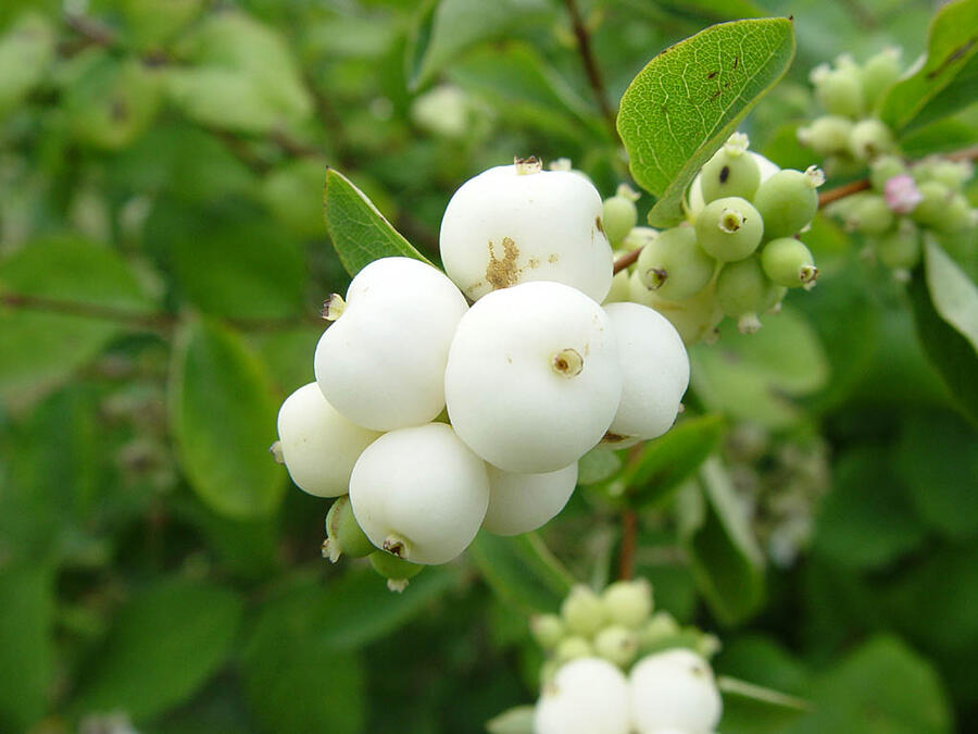 Pámelník bílý - Symphoricarpos albus