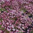 Lomikámen arendsův 'Highlander Rose Shades' - Saxifraga x arendsii 'Highlander Rose Shades'