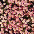 Lomikámen arendsův 'Highlander Rose' - Saxifraga x arendsii 'Highlander Rose'