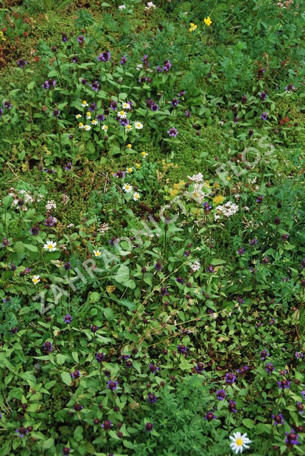 Koberec z rozchodníků a divokých rostlin - Sedum a divoké rostliny - předpěstované rohože